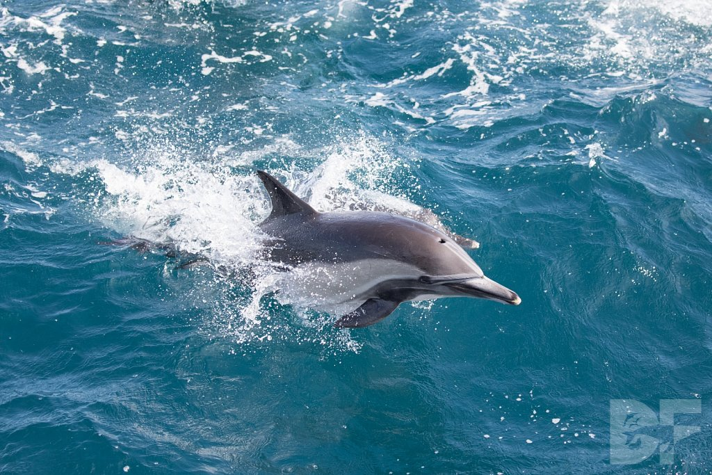 Common Dolphin Good XIII