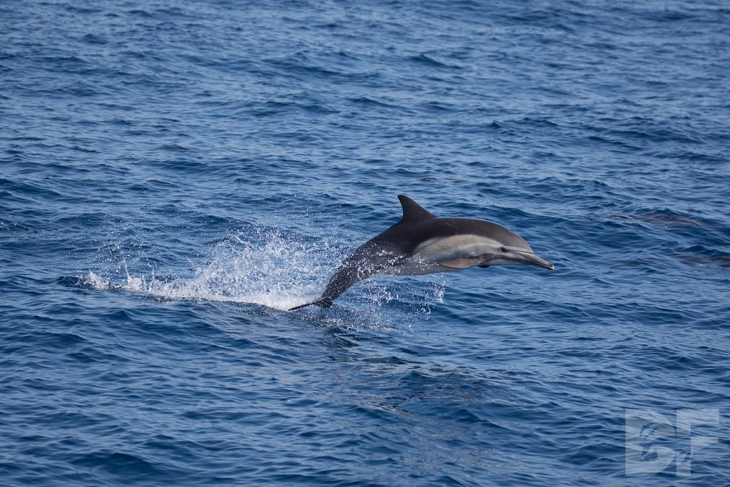 Common Dolphin Good XXX