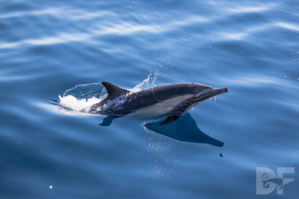Common Dolphin Good XXXVI