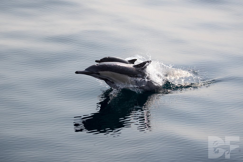 Common Dolphin Good XLIX