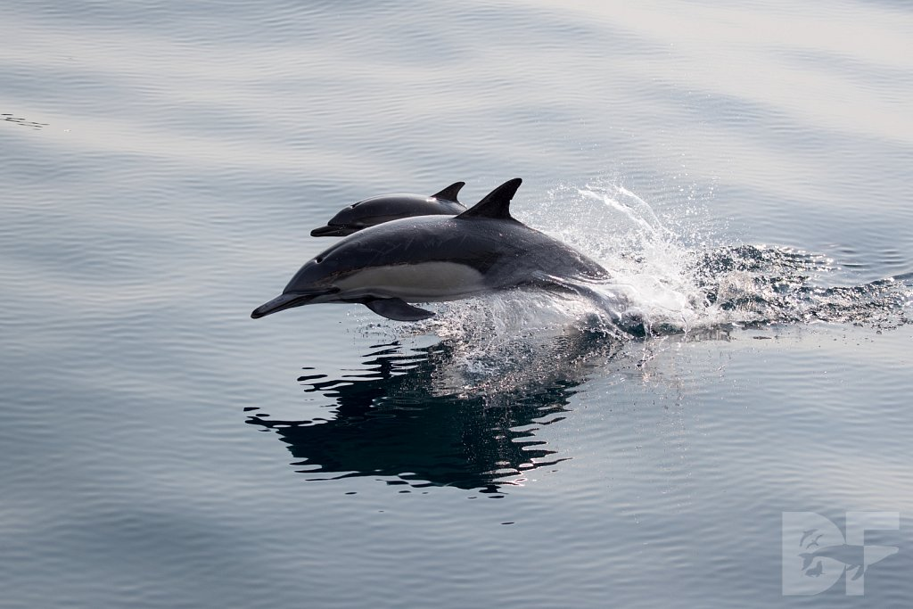 Common Dolphin Good L