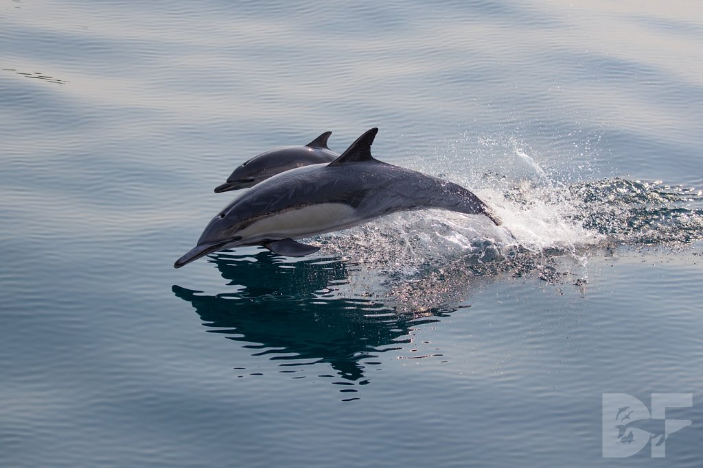 Common Dolphin Good LI
