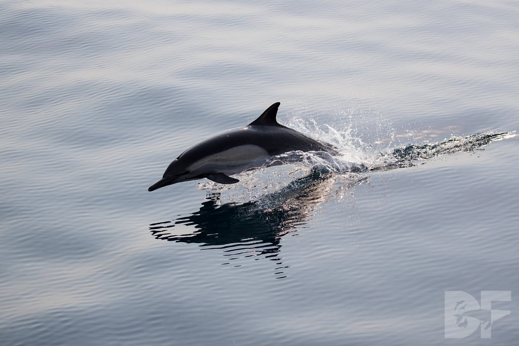 Common Dolphin Good LII