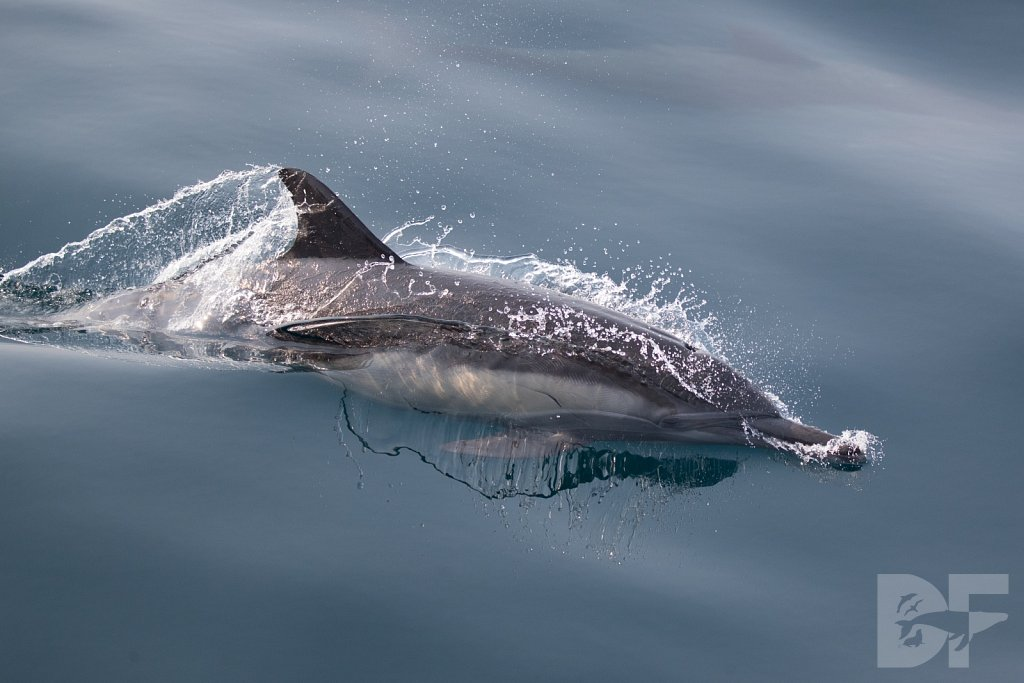 Common Dolphin Good LV
