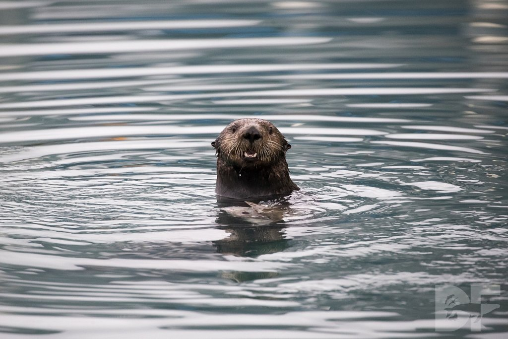 Otter of the North II