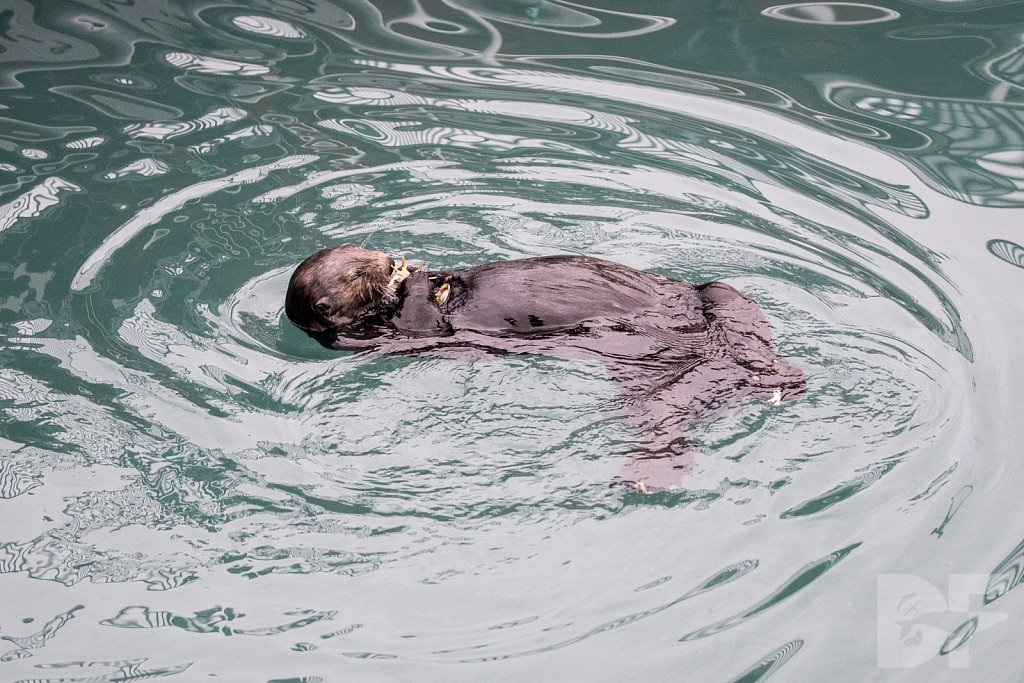 Otter of the North III