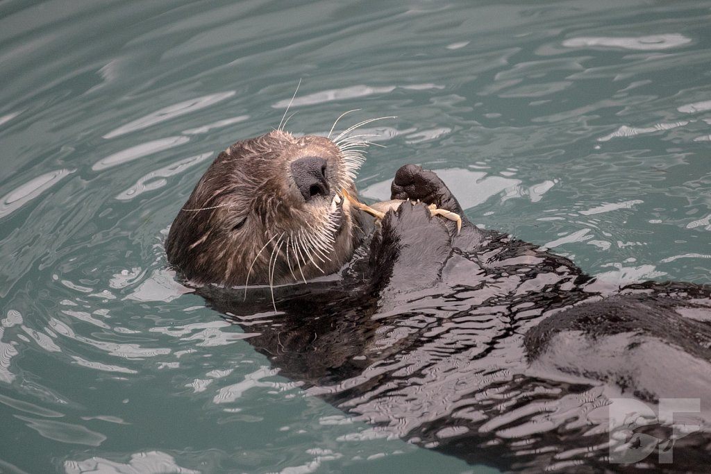 Otter of the North VIII