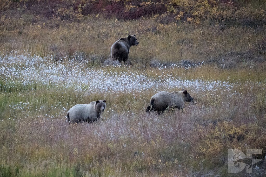 Reflections of a Sow with Cubs I