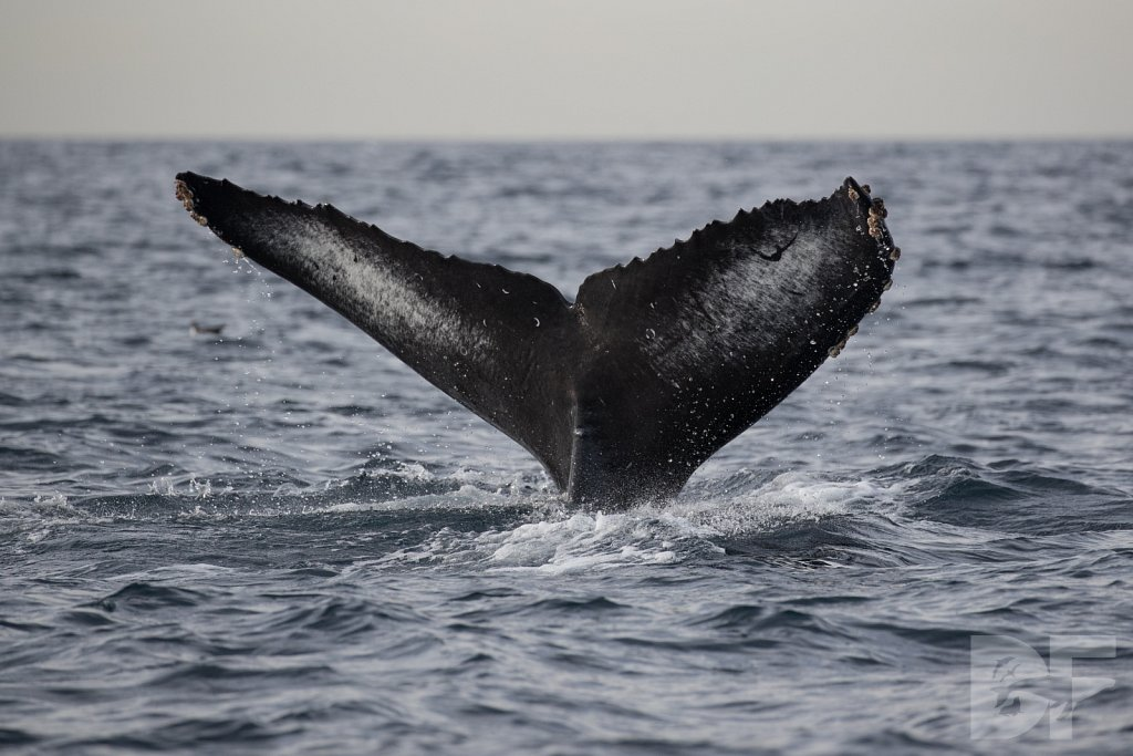 2nd Annual Birthday Humpback Trip XXXI