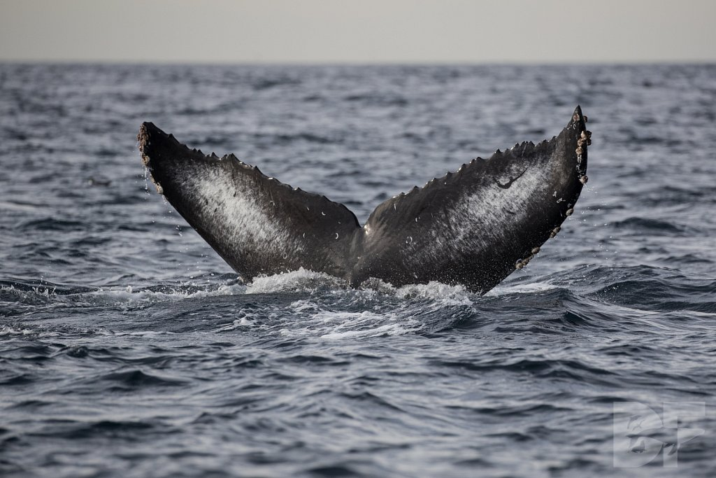 2nd Annual Birthday Humpback Trip XXXII