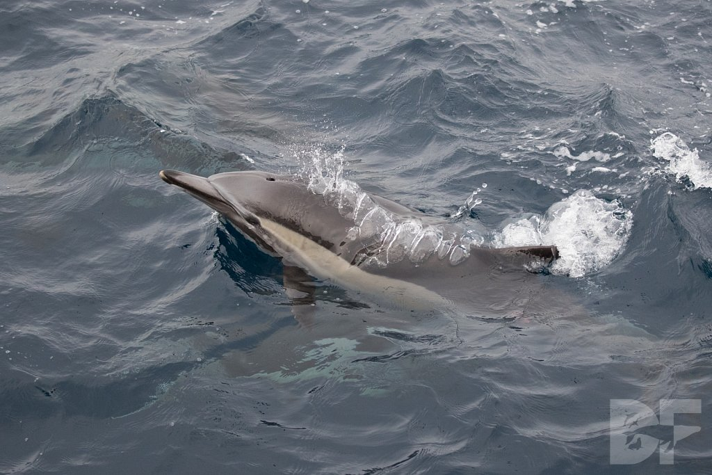 Dolphins Are Forever XVI