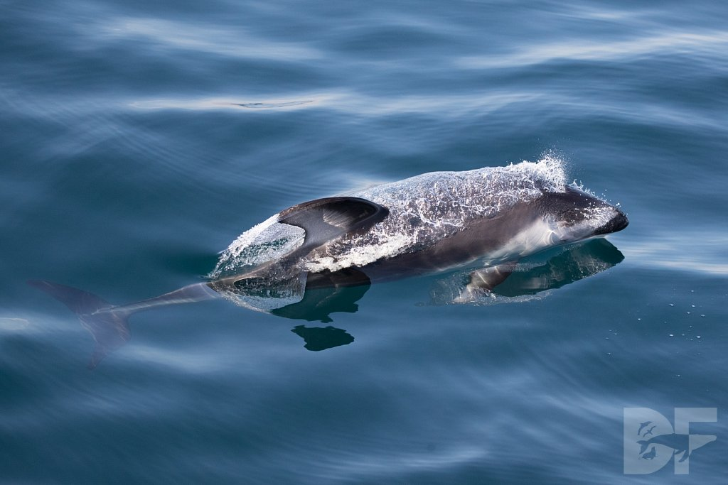 Dolphins Are Forever X