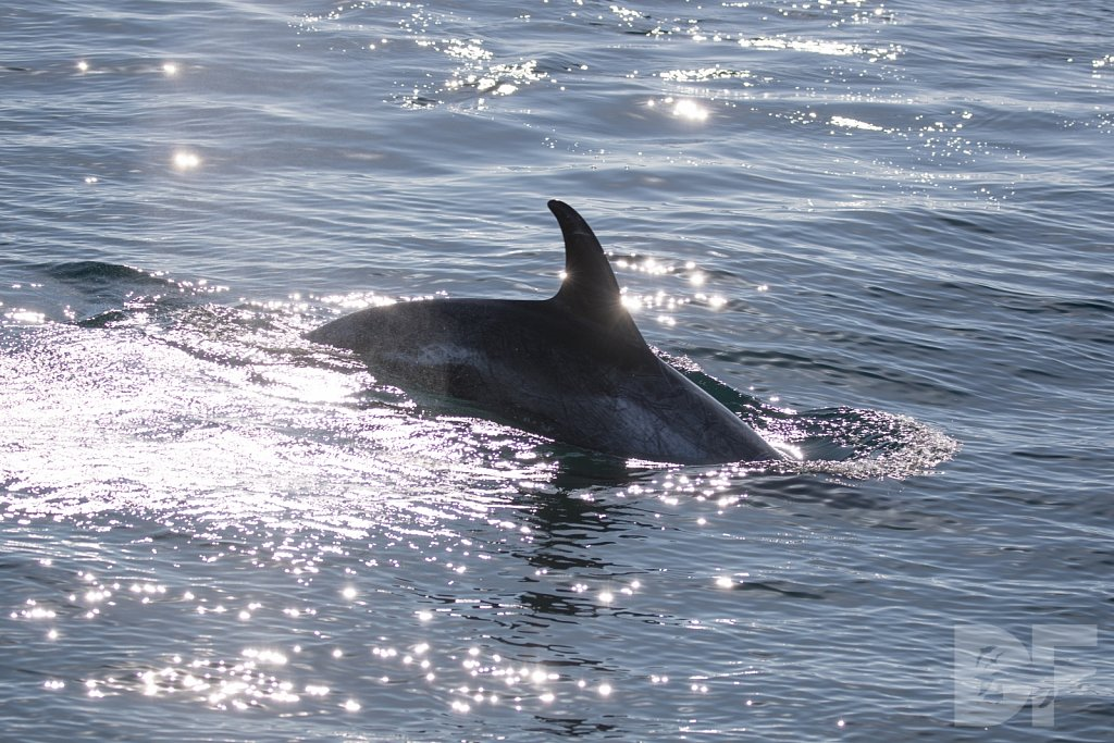 Dolphins Are Forever XVII