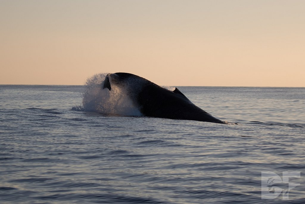 The Holiday Humpbacks XXXVII
