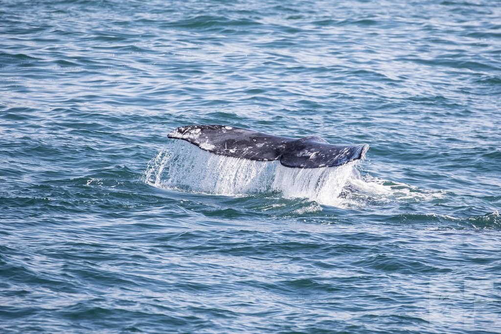 Grandest of Gray Whales VIII