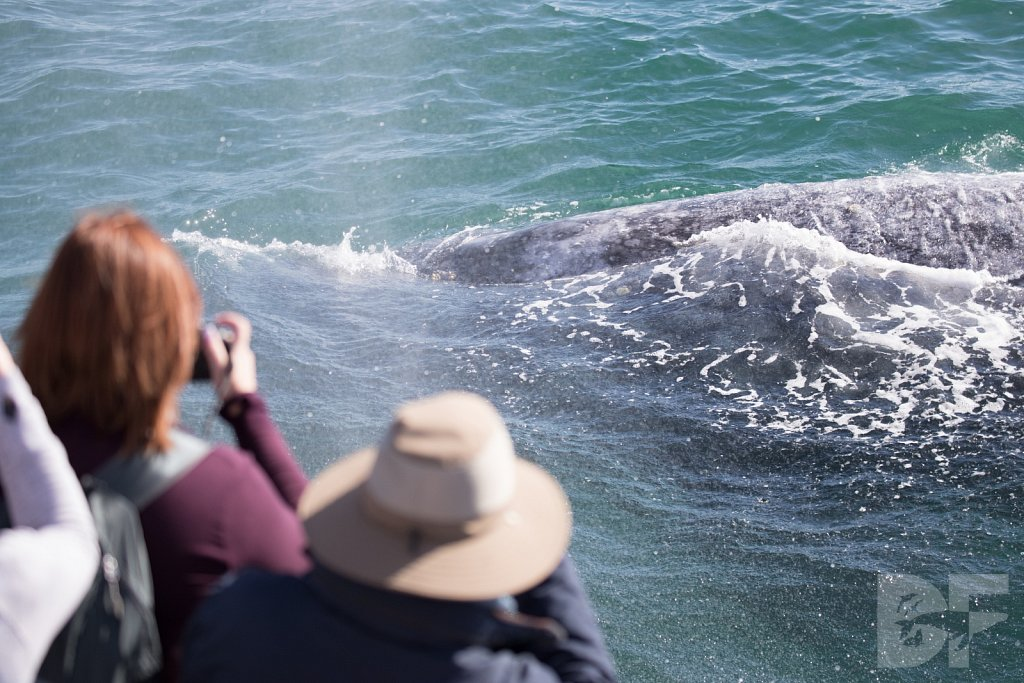Grandest of Gray Whales XI