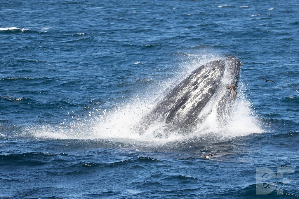 The Holiday Humpbacks LVIII