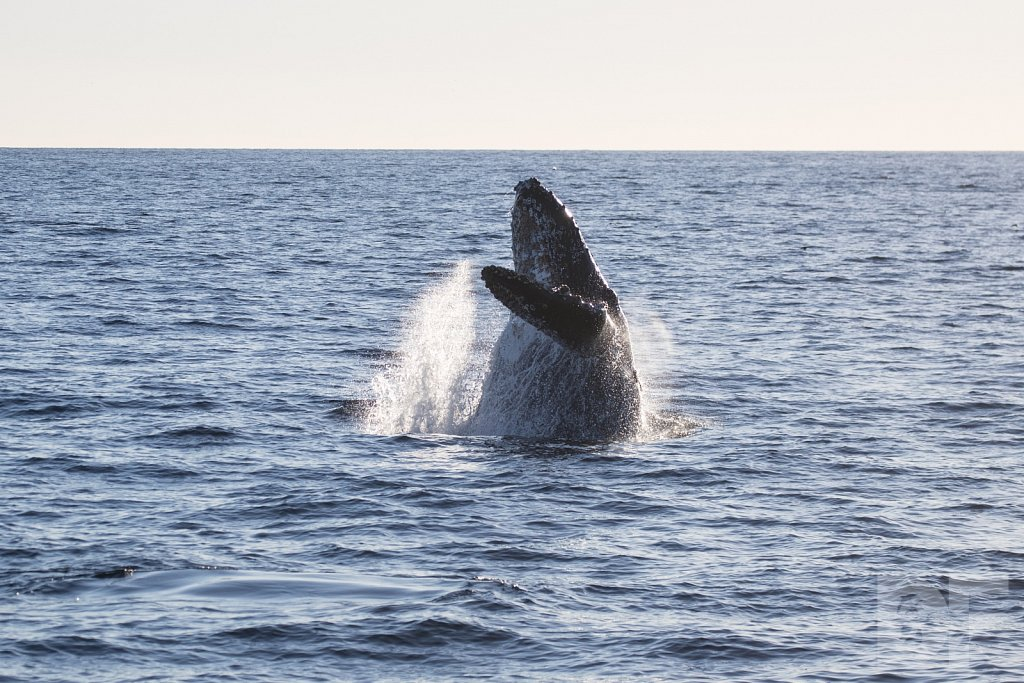 The Holiday Humpbacks LXXVIII
