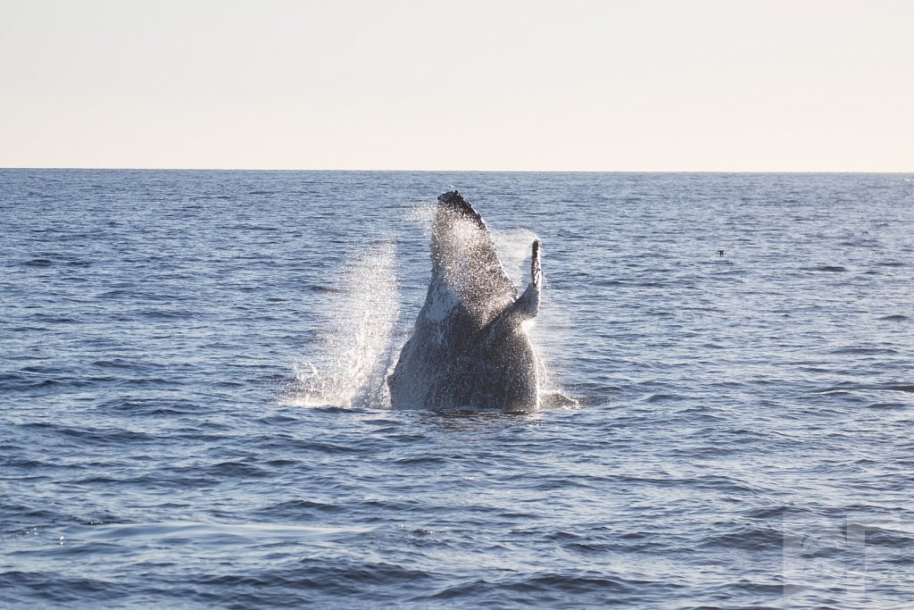 The Holiday Humpbacks LXXIX
