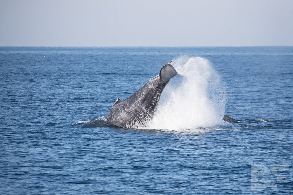 The Holiday Humpbacks LXXXVII