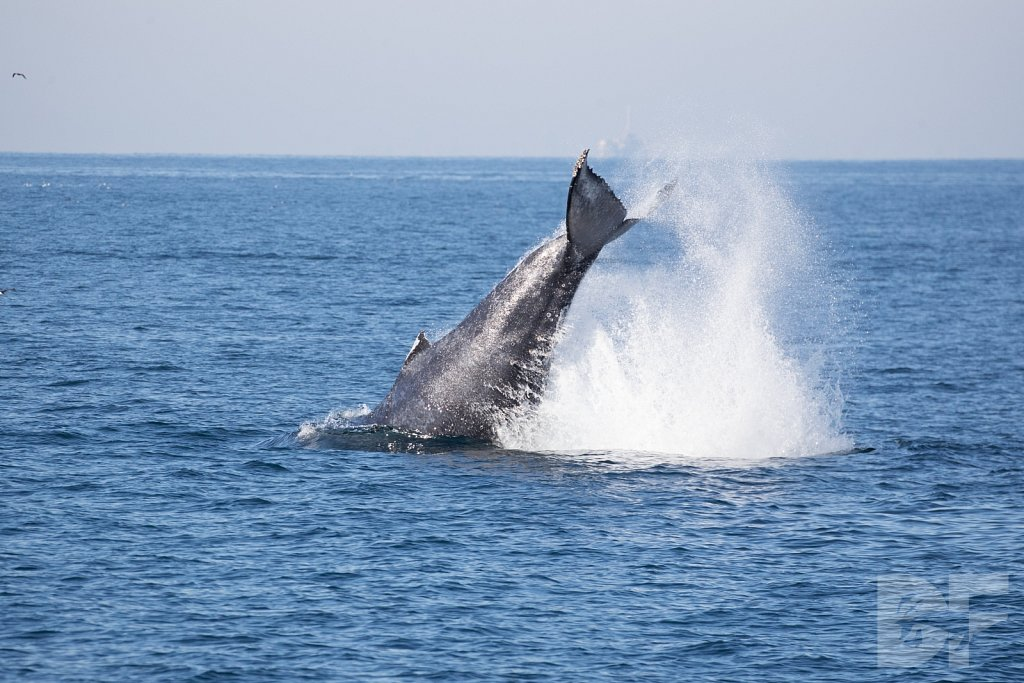 The Holiday Humpbacks LXXXVIII