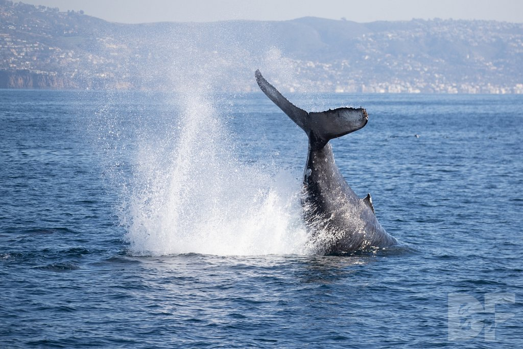 The Holiday Humpbacks