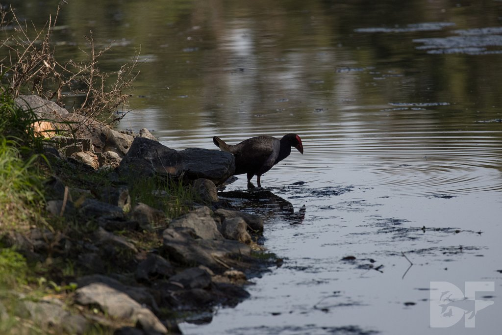 Purple Swamphen II