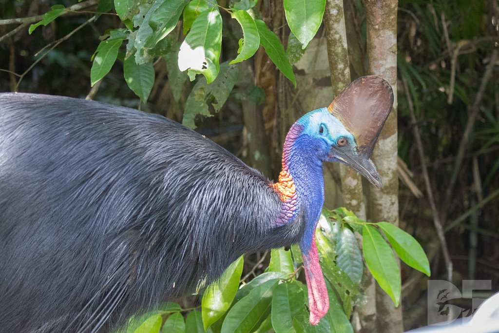 Crown of the Cassowary I