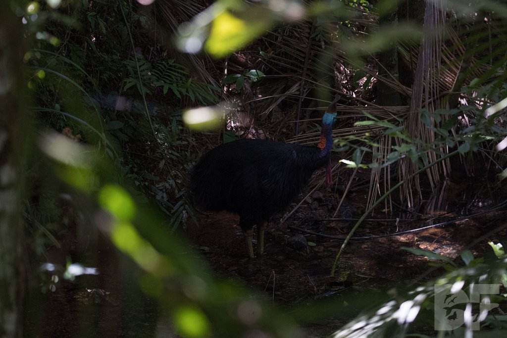 Crown of the Cassowary VI