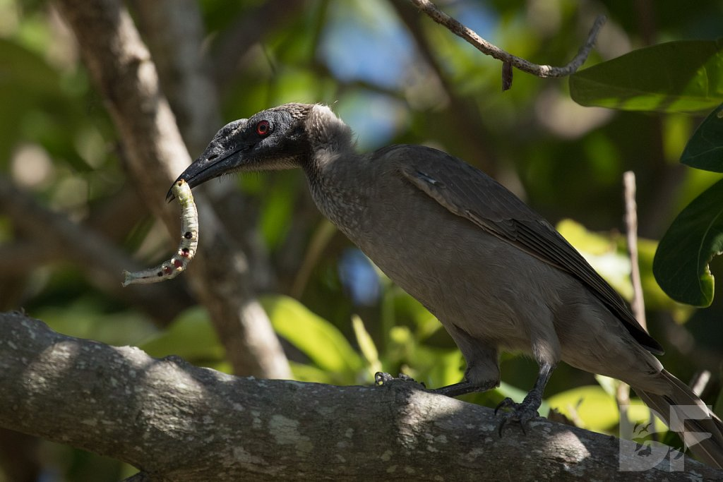 Silver Crowned Friarbird III