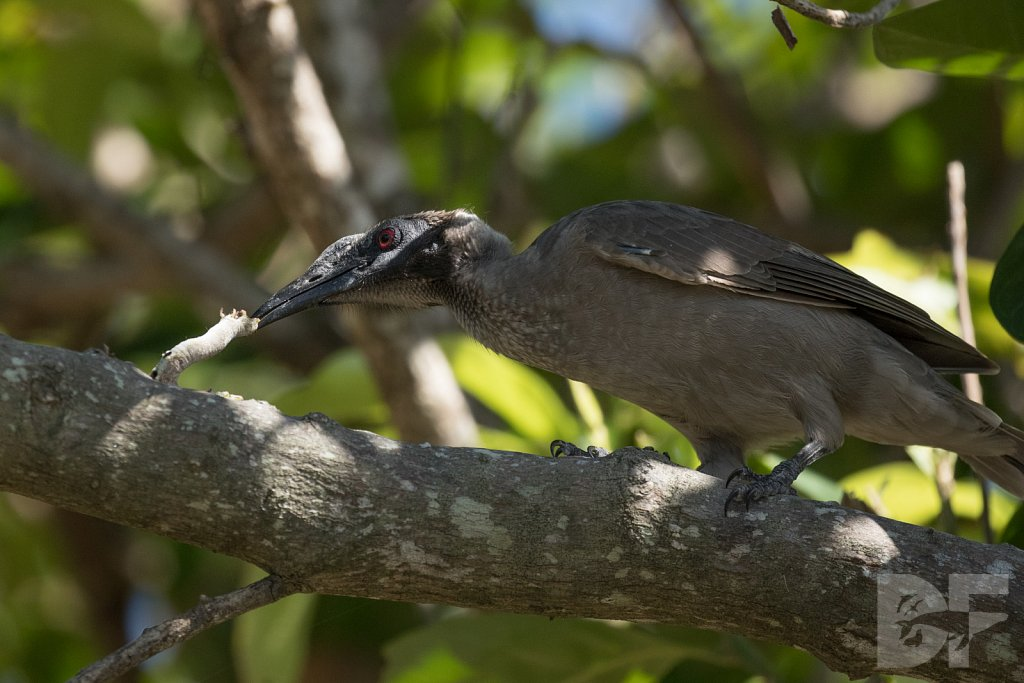 Silver Crowned Friarbird I