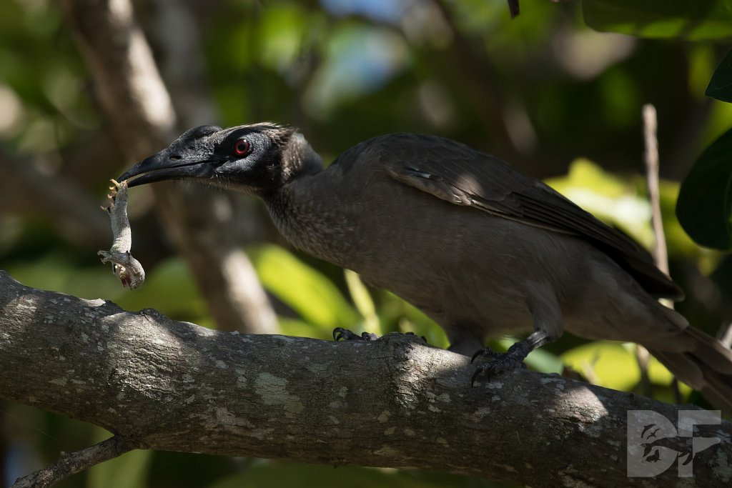 Silver Crowned Friarbird II