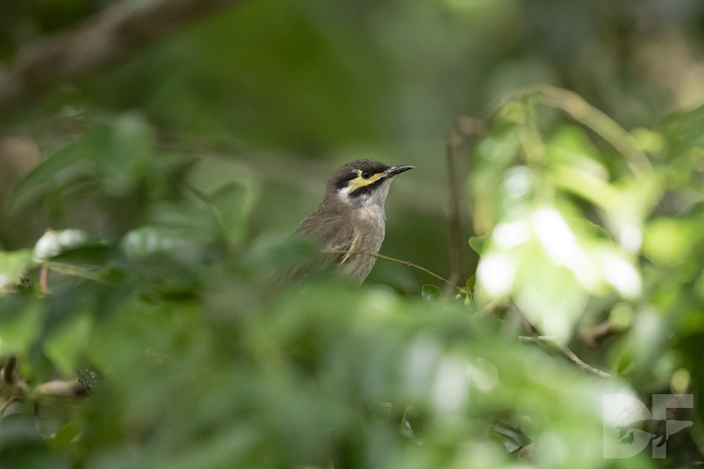 Yellow Fronted Honeyeater