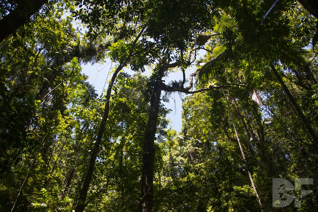 The Daintree Rainforest IX