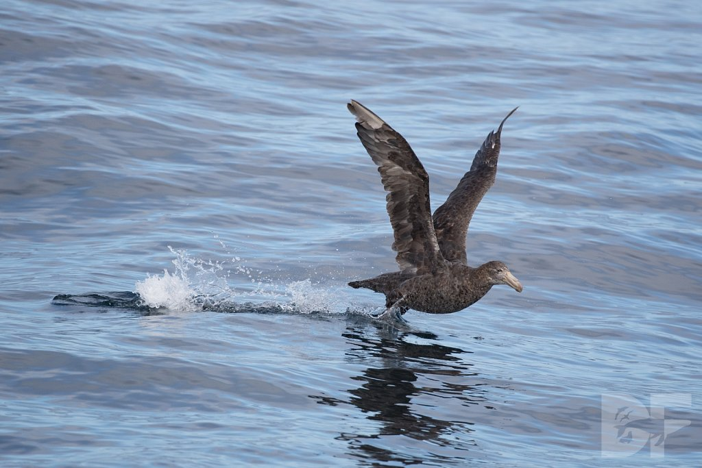 Northern Great Petrel I