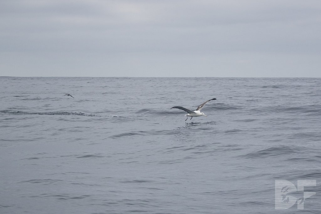 Northern Royal Albatross I