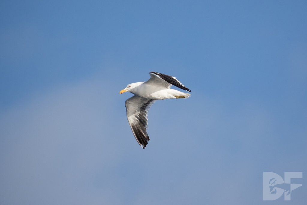 Short Backed Black Gull II