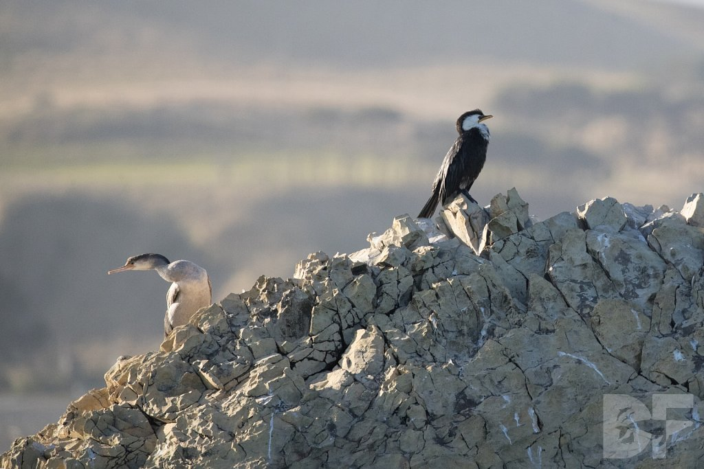 Spotted Shag