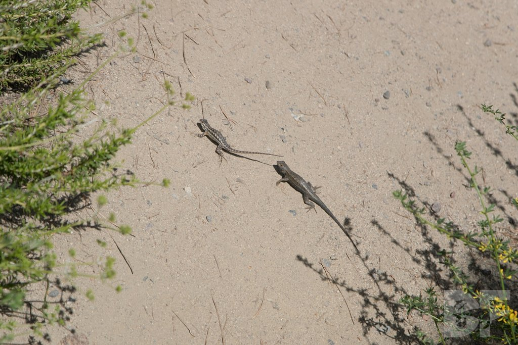 Western Fence Lizards II