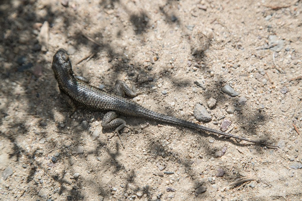 Western Fence Lizards III