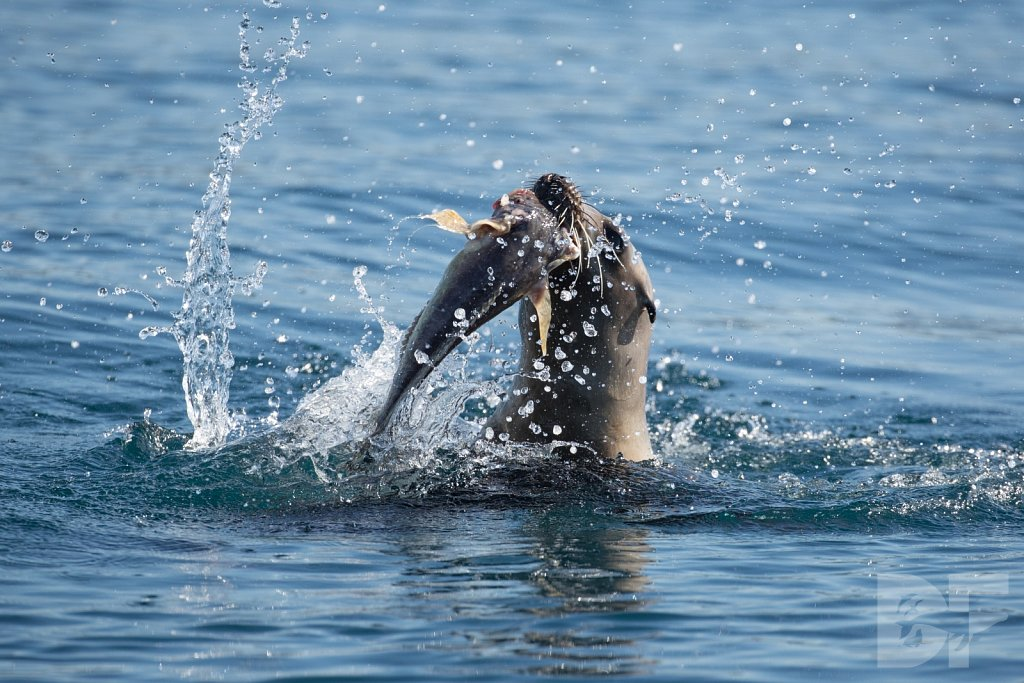Sea Lion vs Ratfish II