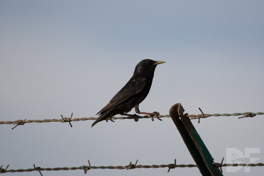 European Starling II