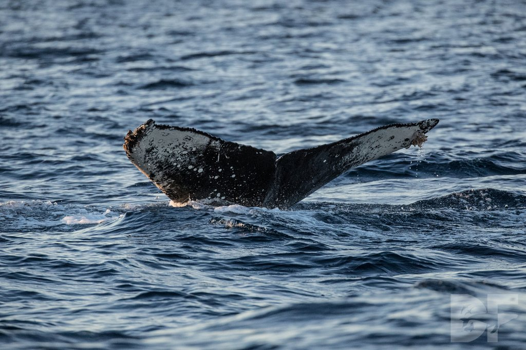 First Humpback of 2020 I