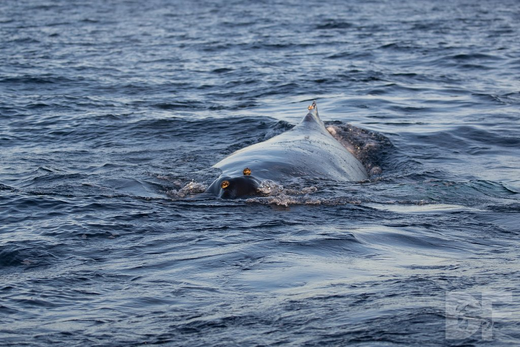 First Humpback of 2020 III