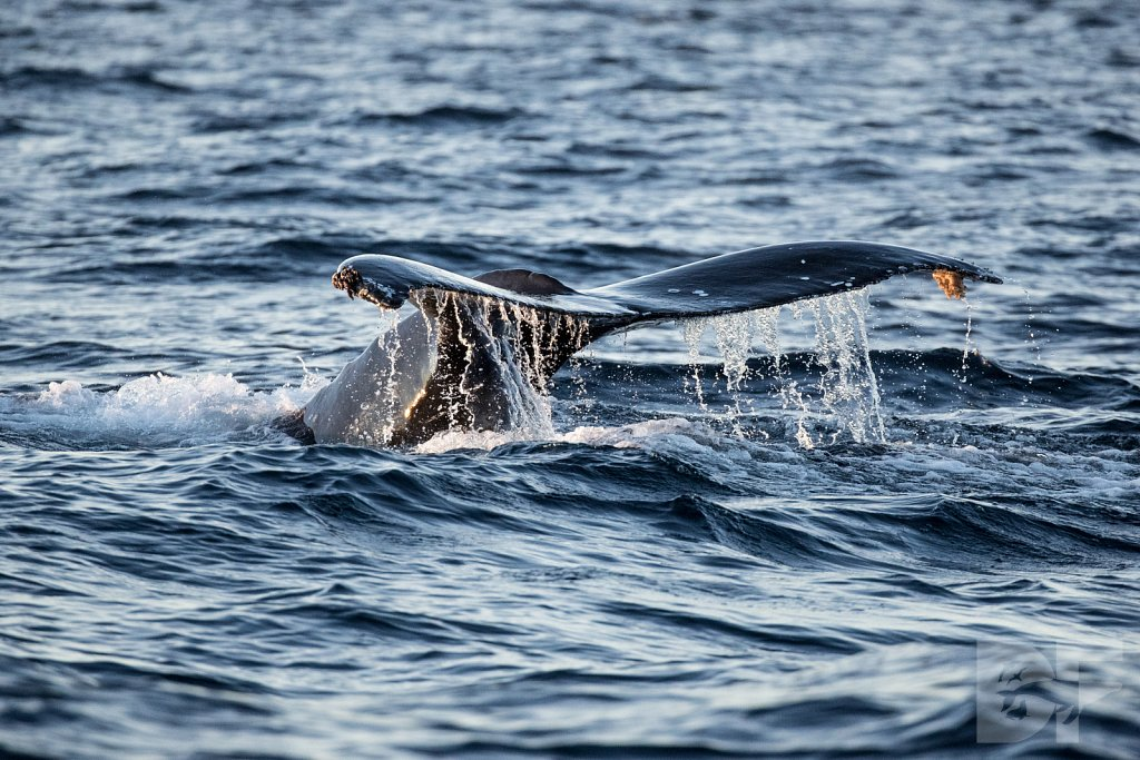 First Humpback of 2020 II