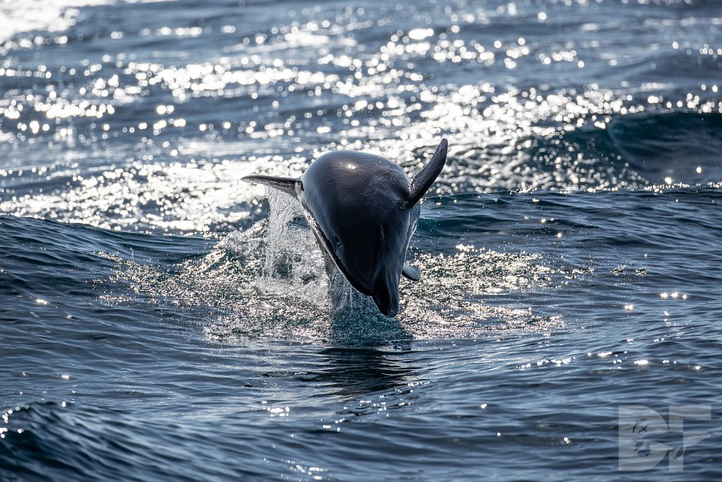 Determined Dolphin II