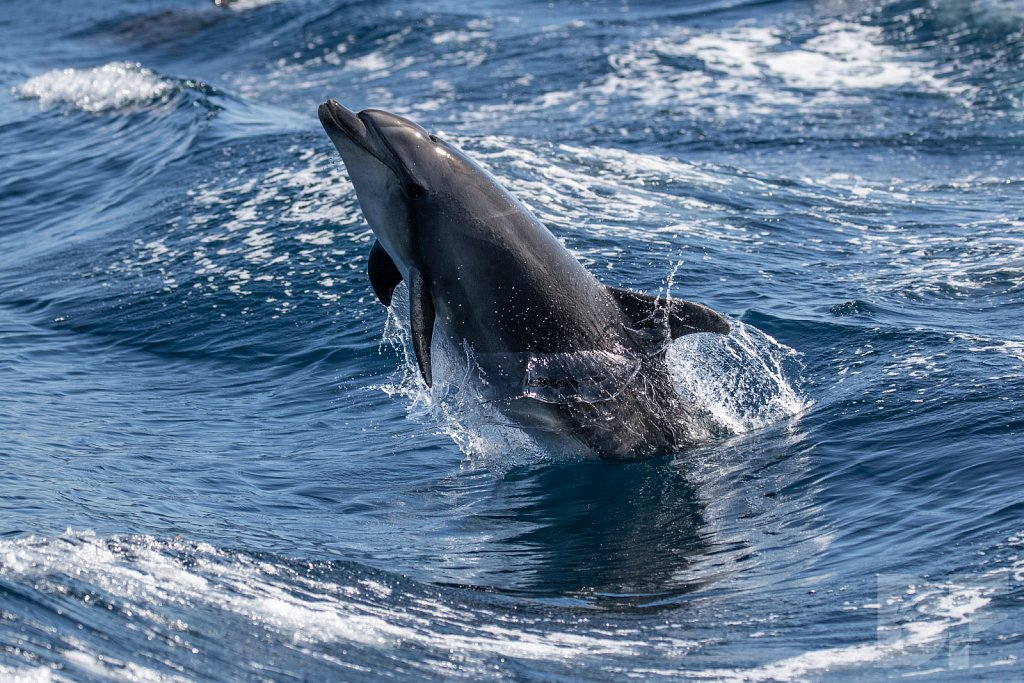 Determined Dolphin IV