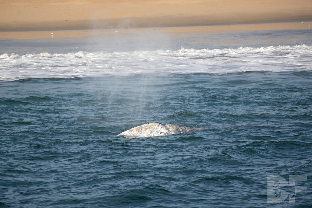 There Go Gray Whales V
