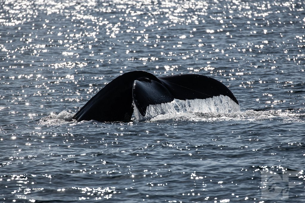 Heart of the Humpback VIII