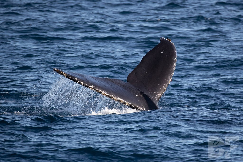 Heart of the Humpback XXXVII